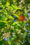 Λουλούδια και φρούτα σε ένα πορτοκαλί δέντρο Στοκ Φωτογραφία