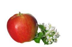 Λουλούδια και φρούτα της Apple Στοκ Εικόνες