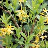 Λουλούδια και φύλλα από το forsythia, την άνοιξη Στοκ εικόνα με δικαίωμα ελεύθερης χρήσης