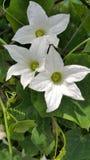 Λουλούδια και φύλλα κολοκυθών κισσών Στοκ εικόνες με δικαίωμα ελεύθερης χρήσης