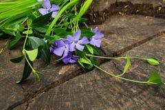 Λουλούδια και φύλλα της βίγκας Στοκ Εικόνες