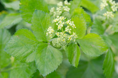 Λουλούδια και φύλλα Alexanders (olusatrum Smyrnium) Στοκ Φωτογραφίες