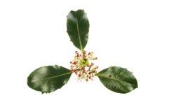 Λουλούδια και φύλλωμα της Holly Στοκ εικόνα με δικαίωμα ελεύθερης χρήσης