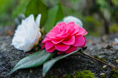 Λουλούδια καμελιών κινηματογραφήσεων σε πρώτο πλάνο Στοκ εικόνα με δικαίωμα ελεύθερης χρήσης