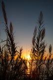 Λουλούδια καλάμων στο ηλιοβασίλεμα Στοκ Φωτογραφίες