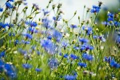 Λουλούδια καλαμποκιού το καλοκαίρι Στοκ εικόνες με δικαίωμα ελεύθερης χρήσης