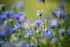 Λουλούδια καλαμποκιού το καλοκαίρι Στοκ Εικόνα