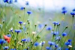 Λουλούδια καλαμποκιού το καλοκαίρι Στοκ εικόνα με δικαίωμα ελεύθερης χρήσης