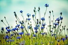Λουλούδια καλαμποκιού το καλοκαίρι Στοκ φωτογραφία με δικαίωμα ελεύθερης χρήσης