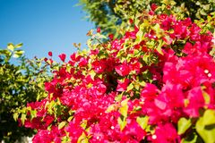 Λουλούδια Καλιφόρνιας ανθών στοκ εικόνες