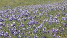 Λουλούδια Καλιφόρνιας Lupine απόθεμα βίντεο