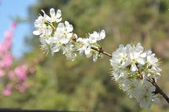 Λουλούδια κεράσι-δέντρων Στοκ εικόνα με δικαίωμα ελεύθερης χρήσης