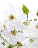 Λουλούδια κερασιών. Μακροεντολή στοκ φωτογραφία