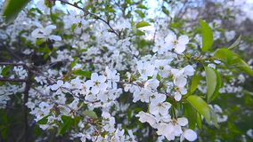 Λουλούδια κερασιών στον αέρα 1 απόθεμα βίντεο