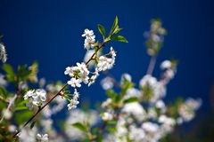 Λουλούδια κερασιών Στοκ Εικόνα