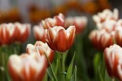 Λουλούδια κινηματογραφήσεων σε πρώτο πλάνο Στοκ Εικόνες
