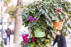 Λουλούδια κισσών και Cyclamen για τη διακόσμηση οδών στοκ εικόνες