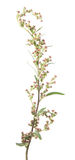 Λουλούδια κοινό wormwood ή Artemisia vulgaris που απομονώνει στο άσπρο υπόβαθρο ιατρικό φυτό Στοκ Εικόνες