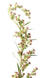 Λουλούδια κοινό wormwood ή Artemisia vulgaris που απομονώνει στο άσπρο υπόβαθρο ιατρικό φυτό Στοκ εικόνες με δικαίωμα ελεύθερης χρήσης