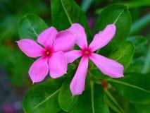 Λουλούδια κράσπεδων στοκ εικόνα