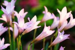 Λουλούδια κρίνων βροχής Στοκ εικόνες με δικαίωμα ελεύθερης χρήσης