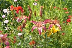 Λουλούδια κρίνων και μιγμάτων στο κρεβάτι λουλουδιών Στοκ Εικόνες