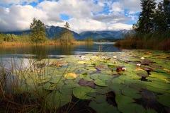 Λουλούδια κρίνων νερού στη λίμνη Barmsee Στοκ Εικόνα
