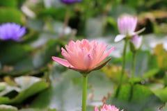 Λουλούδια κρίνων νερού Στοκ Φωτογραφία