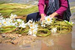 Λουλούδια κρίνων νερού (Nymphaea) που προετοιμάζονται στο ρόλο για την πώληση Στοκ Φωτογραφία