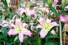 Λουλούδια κρίνων Στοκ Φωτογραφίες
