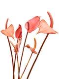 Λουλούδια κρίνων Flaminggo Στοκ Φωτογραφίες