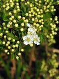 Λουλούδια κραταίγου Στοκ Εικόνες