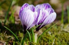 Λουλούδια (κρόκος) Στοκ εικόνες με δικαίωμα ελεύθερης χρήσης