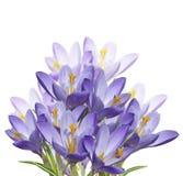 Λουλούδια κρόκων άνοιξη Στοκ Εικόνες