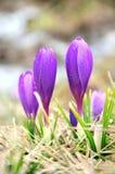 Λουλούδια κρόκων στη δροσιά Στοκ Εικόνα