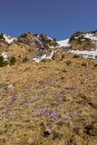 Λουλούδια κρόκων στο βουνό Στοκ Φωτογραφία