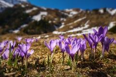 Λουλούδια κρόκων στο βουνό Στοκ φωτογραφία με δικαίωμα ελεύθερης χρήσης