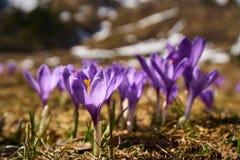 Λουλούδια κρόκων στο βουνό Στοκ εικόνα με δικαίωμα ελεύθερης χρήσης