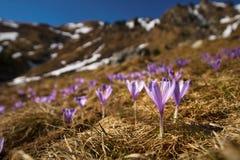 Λουλούδια κρόκων στο βουνό Στοκ Εικόνες