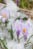 Λουλούδια κρόκων Στοκ φωτογραφία με δικαίωμα ελεύθερης χρήσης