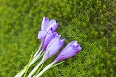 Λουλούδια κρόκων στοκ φωτογραφία