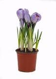 Λουλούδια κρόκων flowerpot Στοκ Φωτογραφίες
