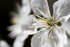 Λουλούδια κυδωνιών στο χρόνο άνοιξη Στοκ Εικόνες