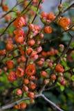 Λουλούδια κυδωνιών της Apple Στοκ φωτογραφία με δικαίωμα ελεύθερης χρήσης