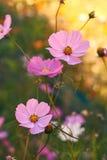 Λουλούδια κόσμου βραδιού Στοκ εικόνα με δικαίωμα ελεύθερης χρήσης