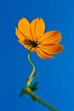 Λουλούδια κόσμου με το υπόβαθρο μπλε ουρανού. Στοκ Φωτογραφίες