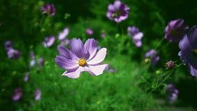 Λουλούδια κόσμου στον πράσινο τομέα φιλμ μικρού μήκους