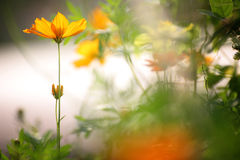 Λουλούδια κόσμου στο αναδρομικό χρώμα στο φως απογεύματος Στοκ Φωτογραφίες