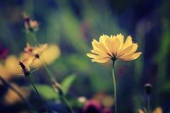 Λουλούδια κόσμου στο αναδρομικό χρώμα στο φως απογεύματος Στοκ φωτογραφία με δικαίωμα ελεύθερης χρήσης