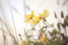 Λουλούδια κόσμου στο αναδρομικό χρώμα στο φως απογεύματος Στοκ φωτογραφίες με δικαίωμα ελεύθερης χρήσης